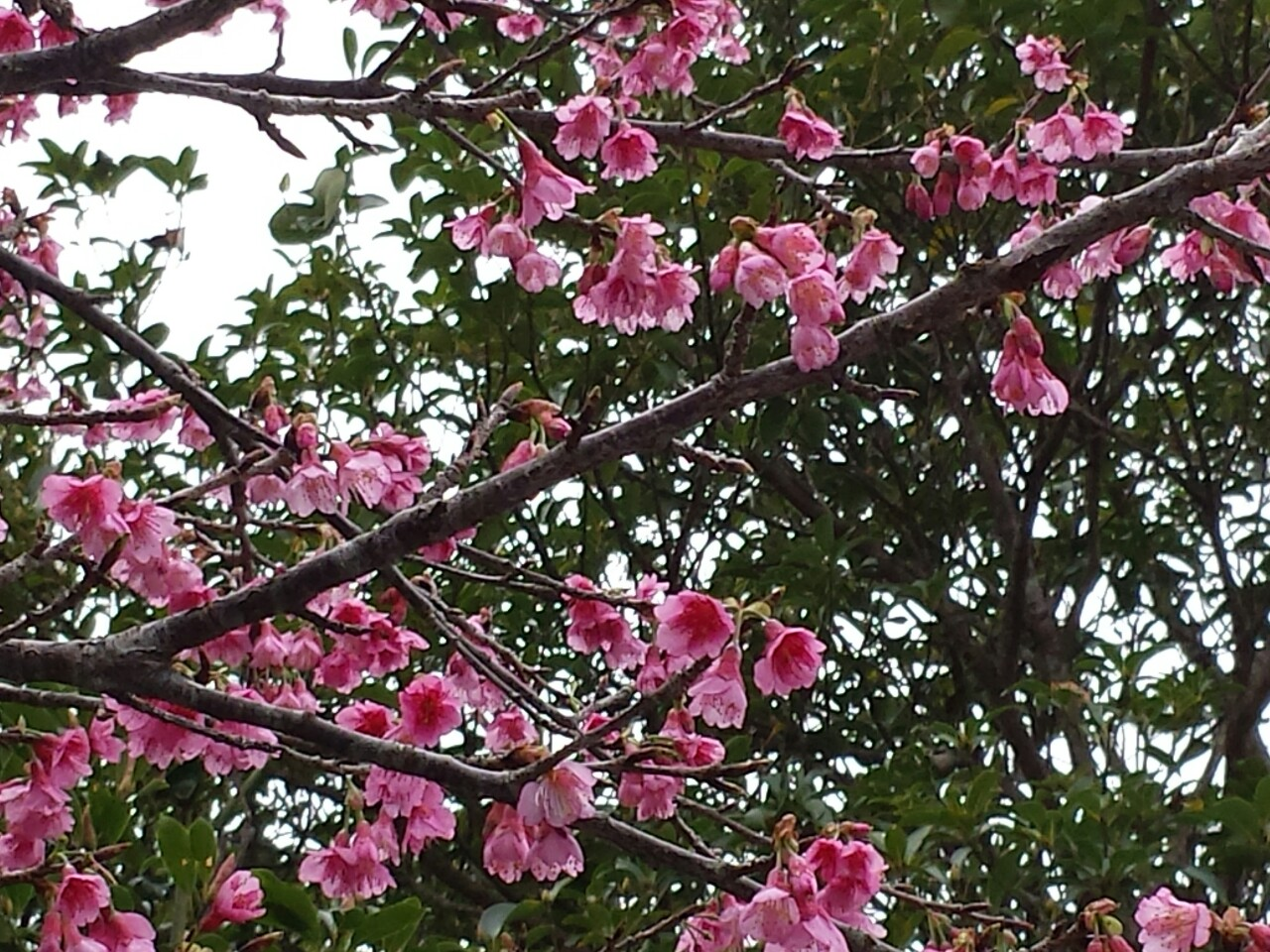沖縄の桜①